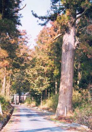 栗栖神社の杉